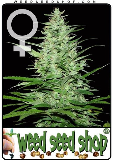Indoor Mix Feminized